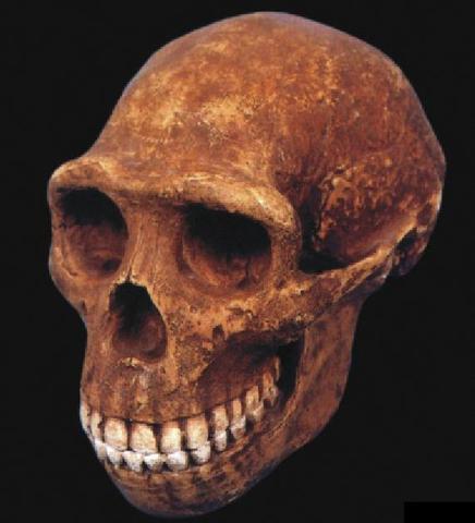 cráneo del Homo Erectus.