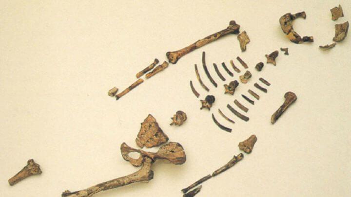 Australopithecus ,Lucy.